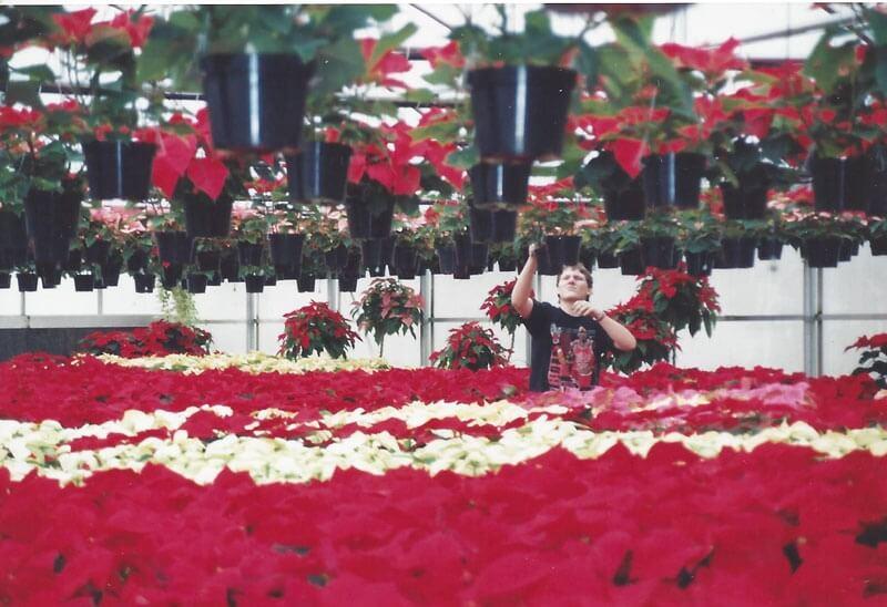 Greenhouse worker during poinsettia season.